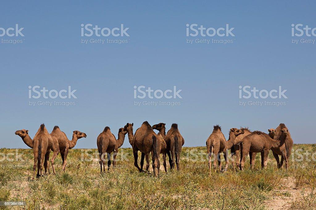 Herd of camels in Turkestan, Kazakhstan. stock photo
