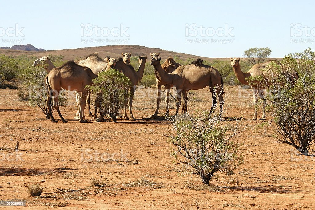 Herd of Camels royalty-free stock photo
