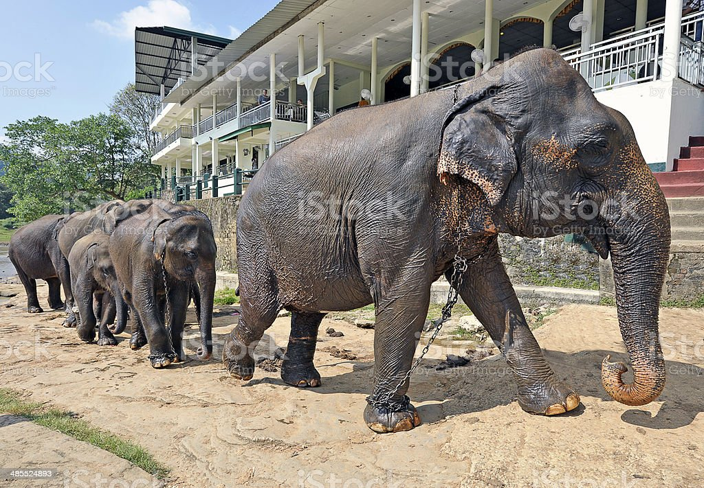 Herd of captive Elephants, Sri Lanka stock photo
