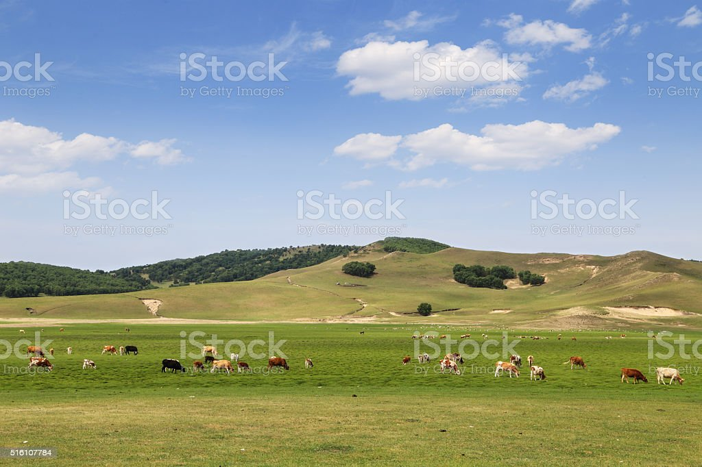 herd of cattle are eating grass on the grassland stock photo