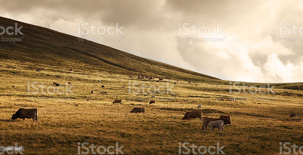 Herd of cattle at sunset royalty-free stock photo