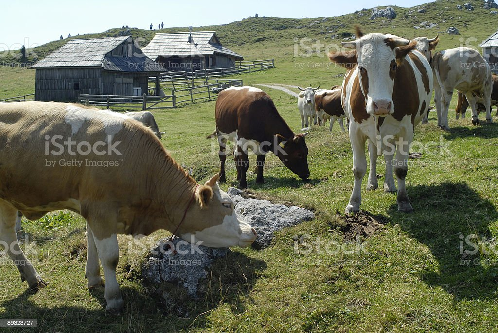 Herd of cattle - mountain pasture, cows, and wooden huts royalty-free stock photo