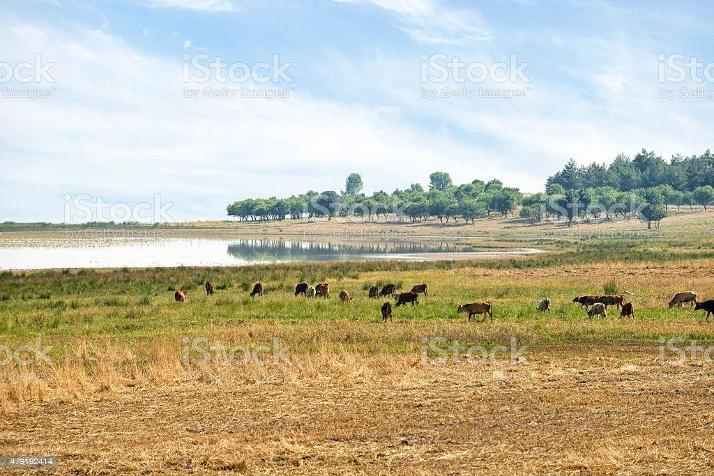 Herd of cattle stock photo