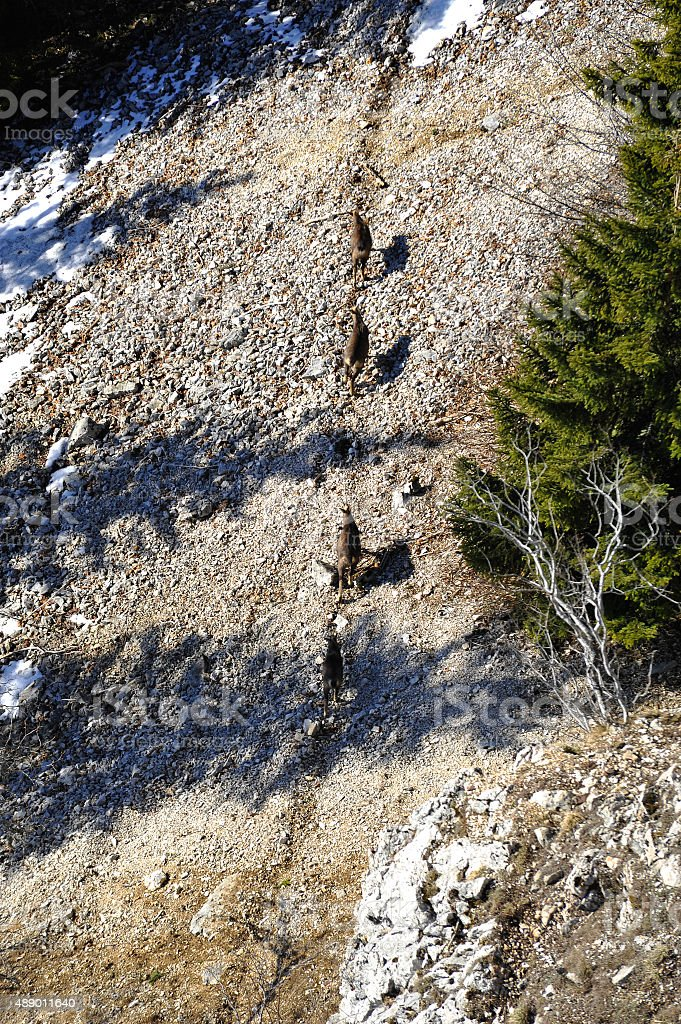 Herd of chamois stock photo