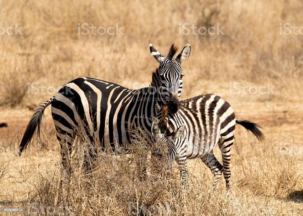 Herd of common zebra in Tarangire National Park stock photo