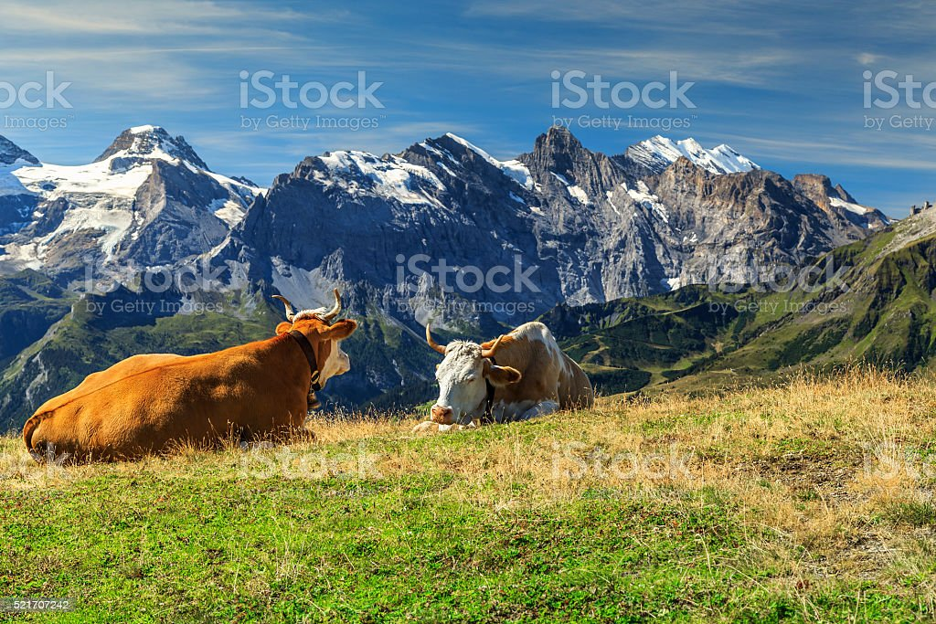 Herd of cows at beautiful green field,Bernese Oberland,Switzerland stock photo