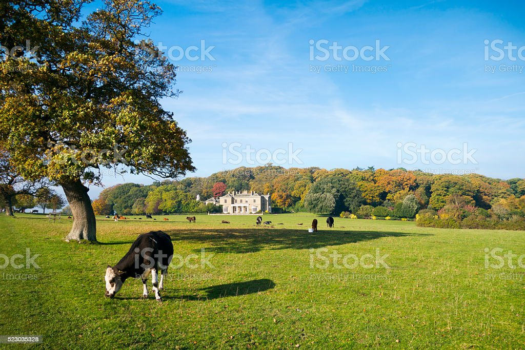 Herd of cows at Sheringham Park stock photo