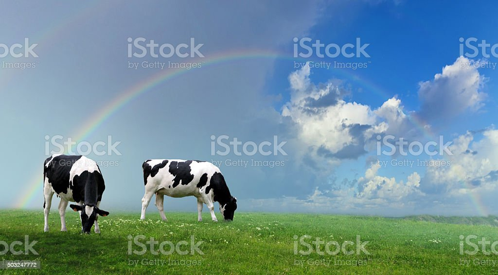 Herd of cows at summer green field stock photo