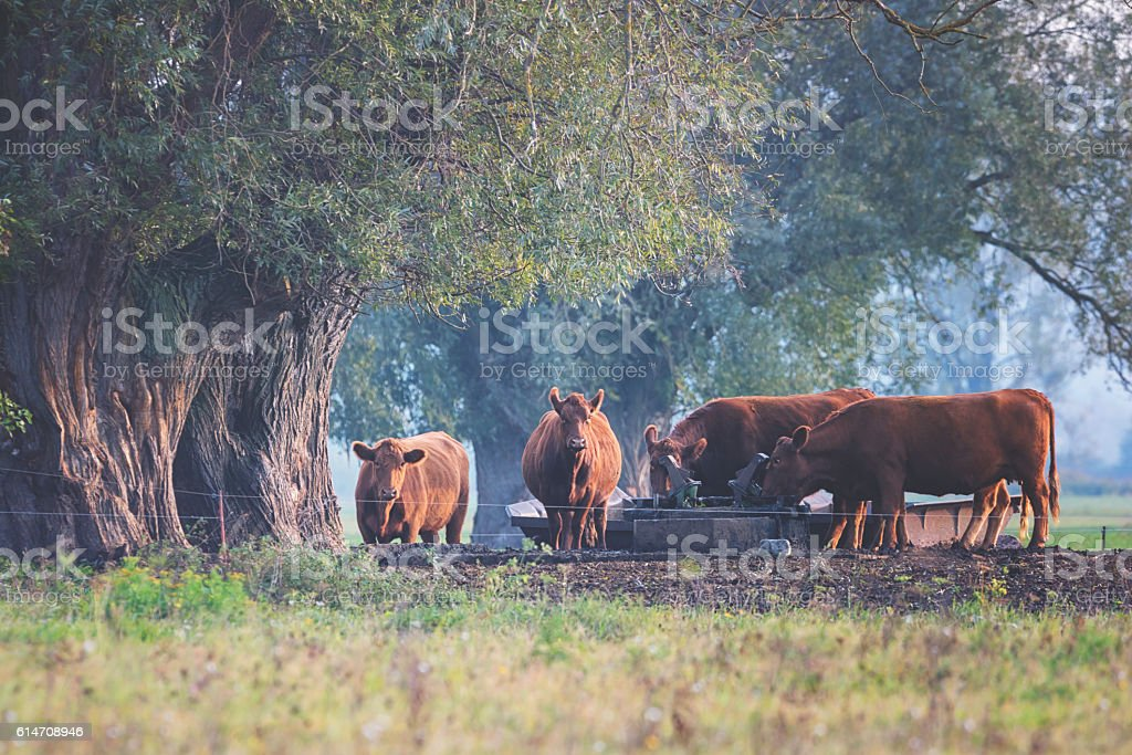 Herd of cows at the meadow drinks water stock photo