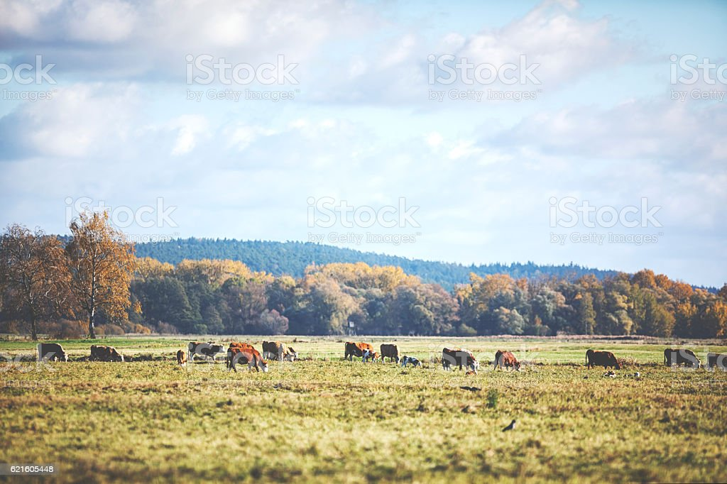 Herd of cows at the meadow in autumn stock photo
