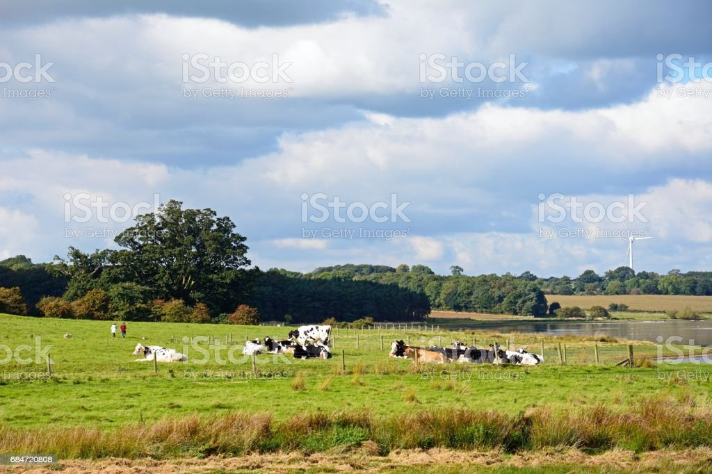 Herd of cows by Blithfield reservoir. stock photo