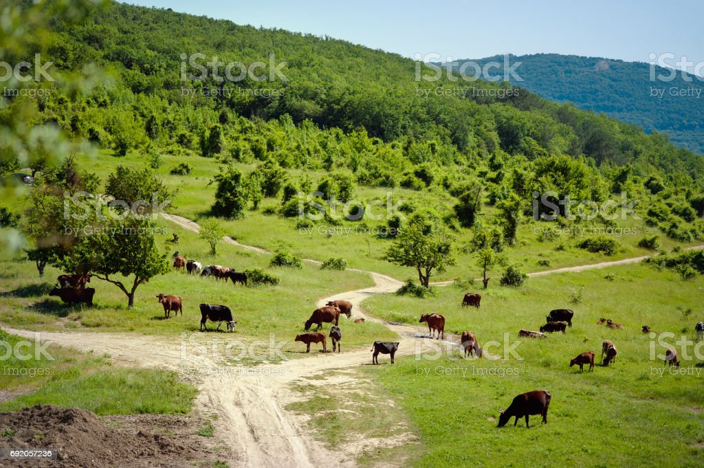 Herd of cows. Cows on the field. cows grazing at the green meadow stock photo