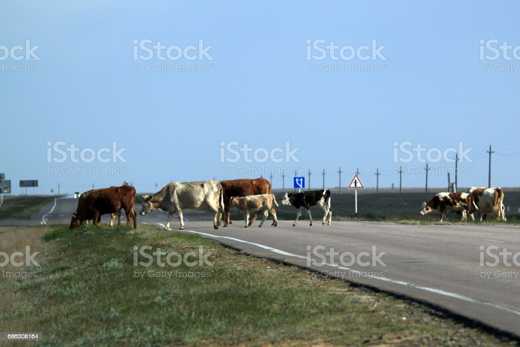 Herd of cows crossing the road stock photo