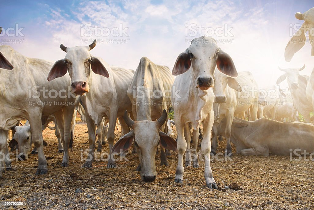 Herd of cows eating grass at sunset. stock photo