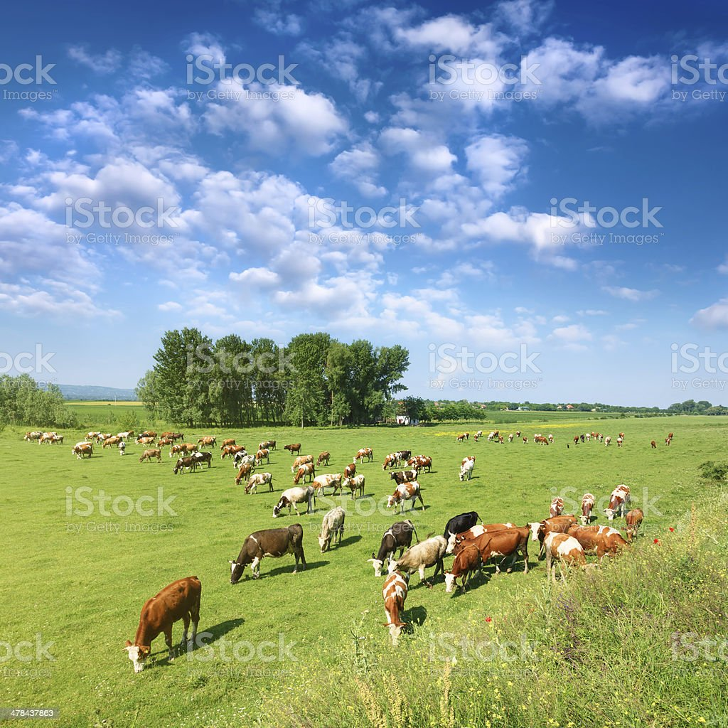 Herd of cows grazing in a sunny morning stock photo