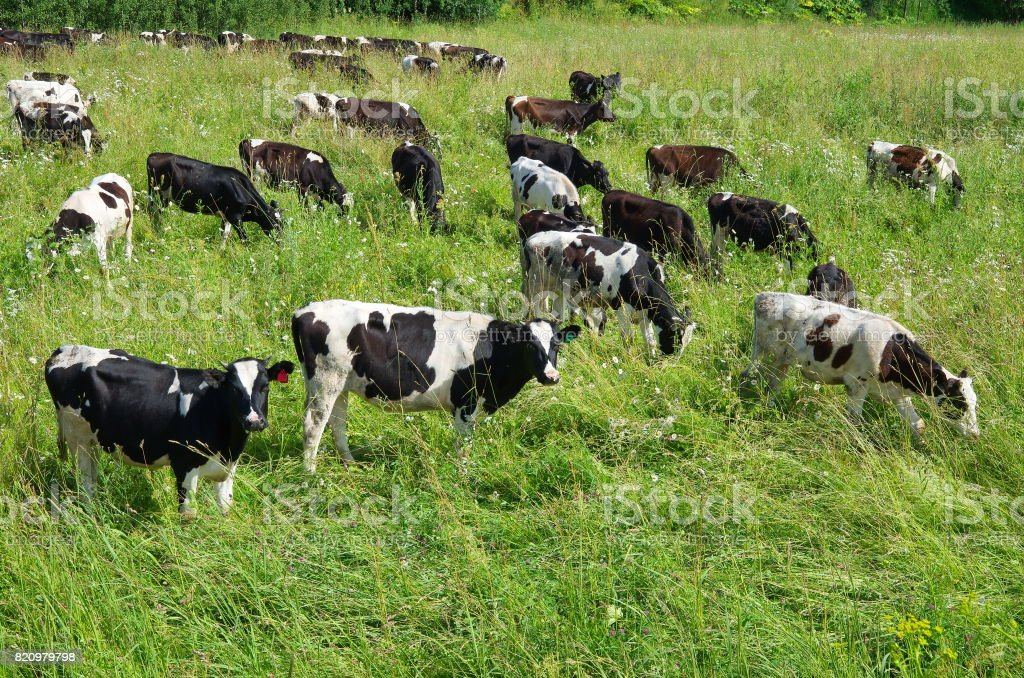 Herd of cows grazing on summer meadow stock photo