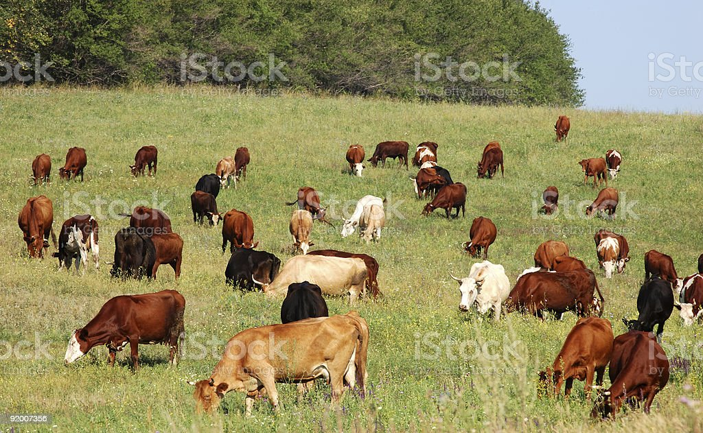 A herd of cows in a grass field royalty-free stock photo