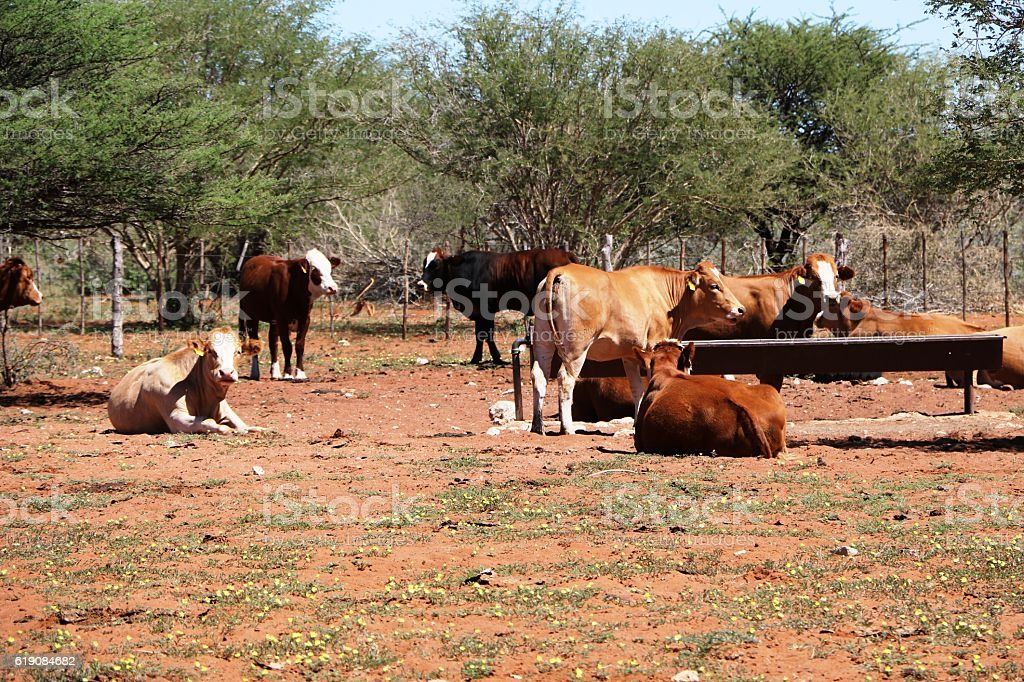 Herd of cows in Namibia, Africa stock photo