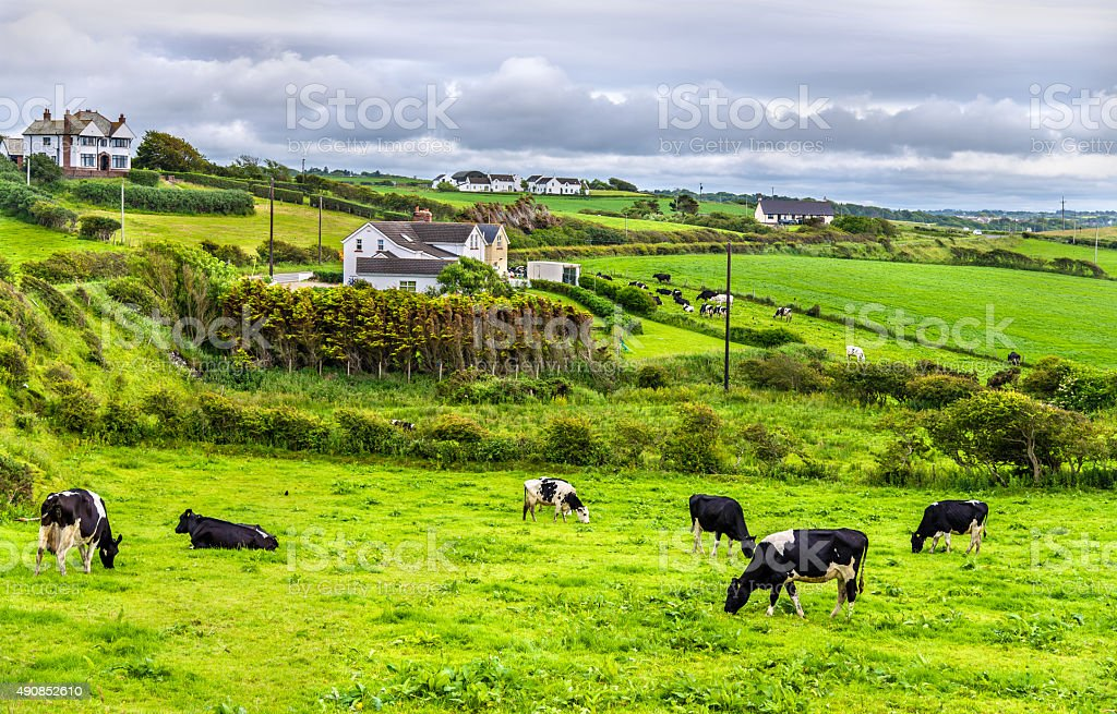 Herd of cows in pasture in County Antrim stock photo