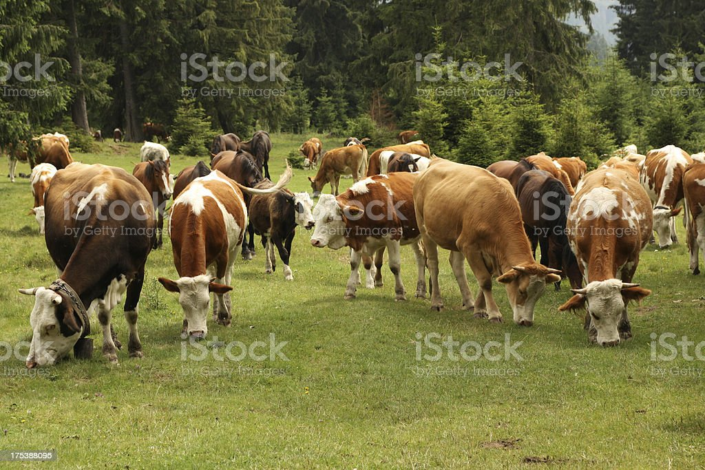 Herd of Cows in Pasture royalty-free stock photo