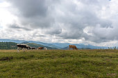 Herd of cows in the mountains of the Carpathians. Ukraine. 08/15/2016