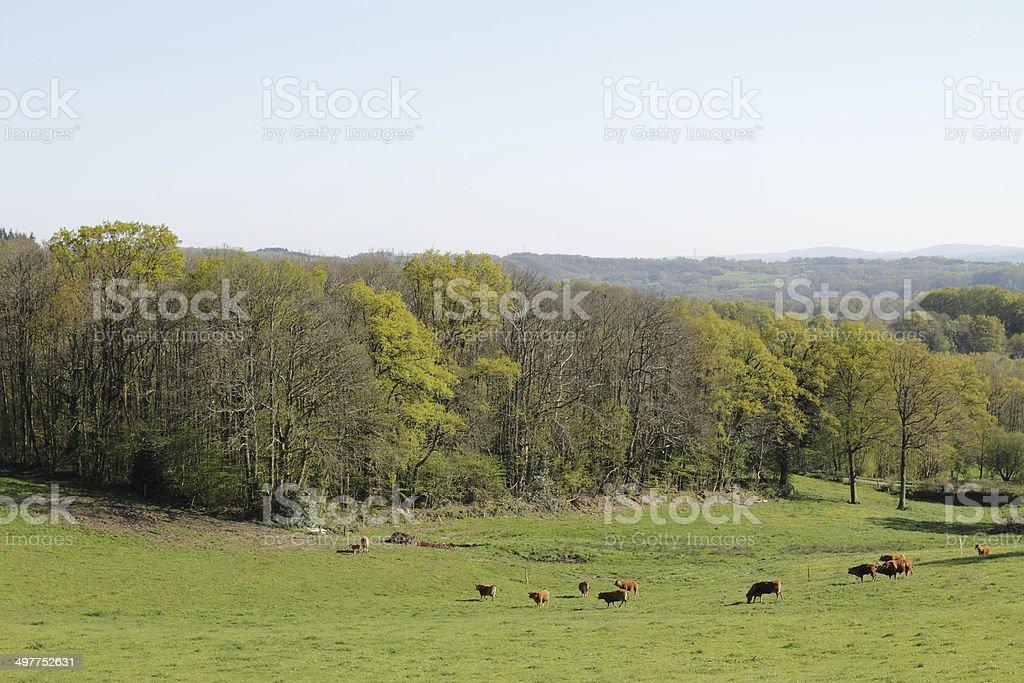 Herd of cows limousines. stock photo