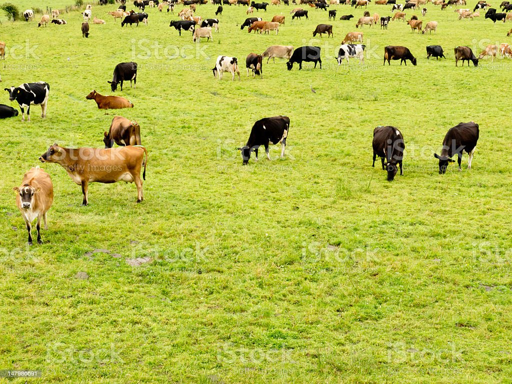 Herd of cows on lush green meadow pasture royalty-free stock photo