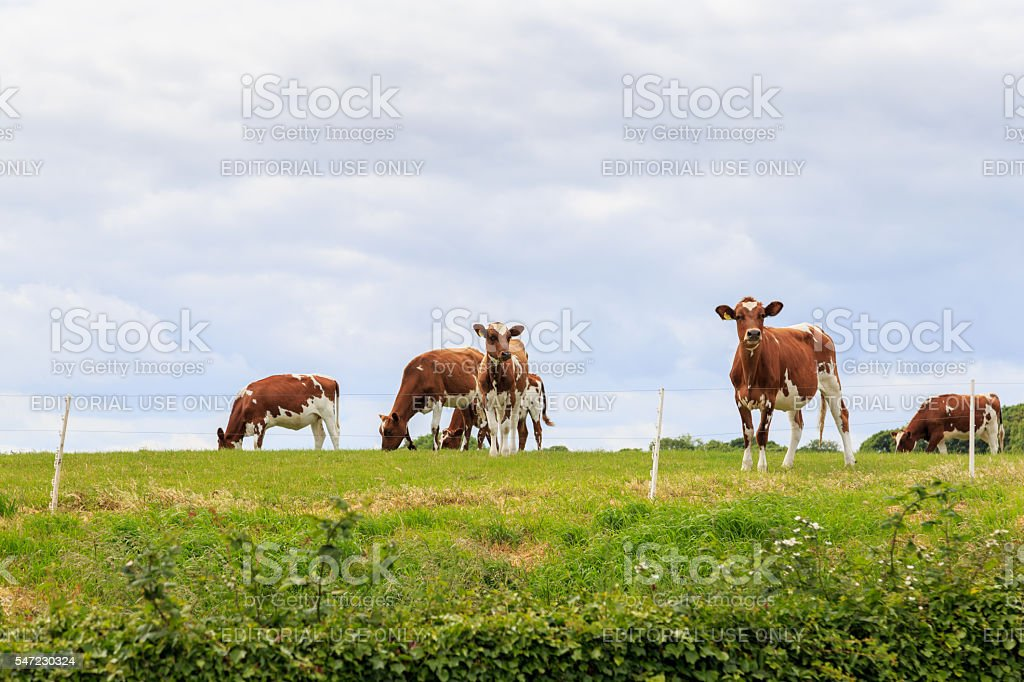 Herd of cows (believed to be Ayrshire cows) stock photo