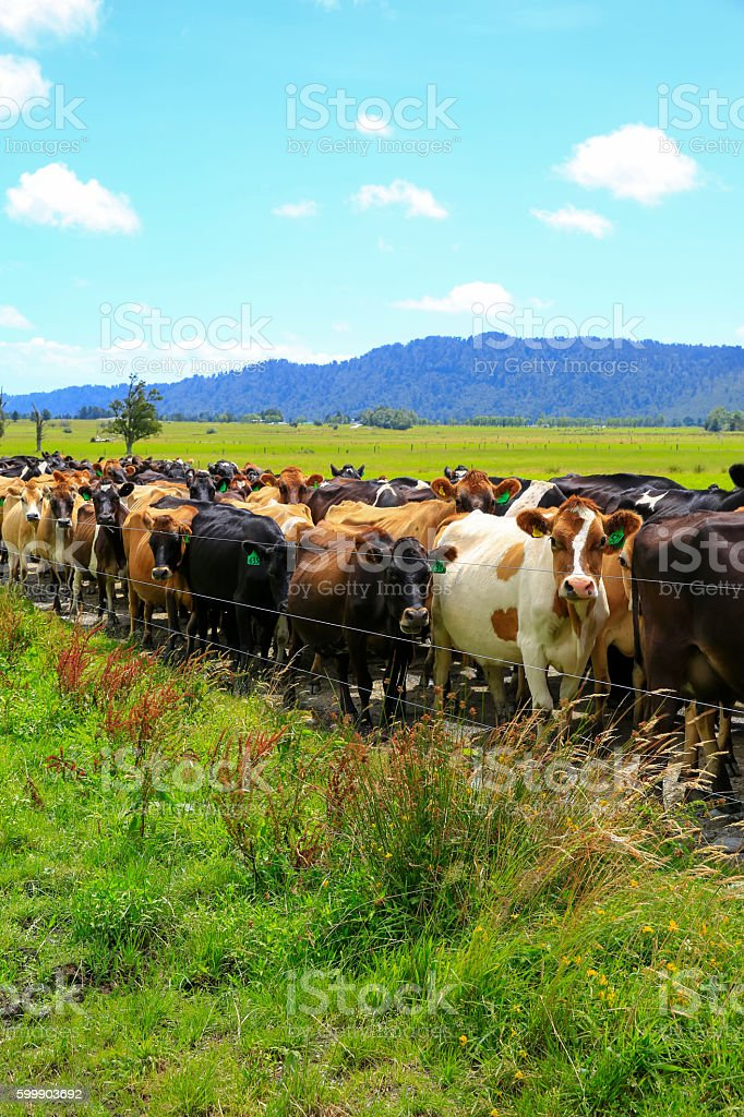 Herd of cows waiting for a change of pasture. NZ stock photo