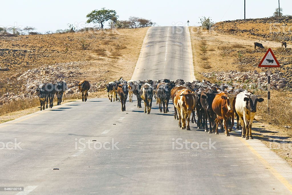 Herd of cows walking road nearby Salalah stock photo