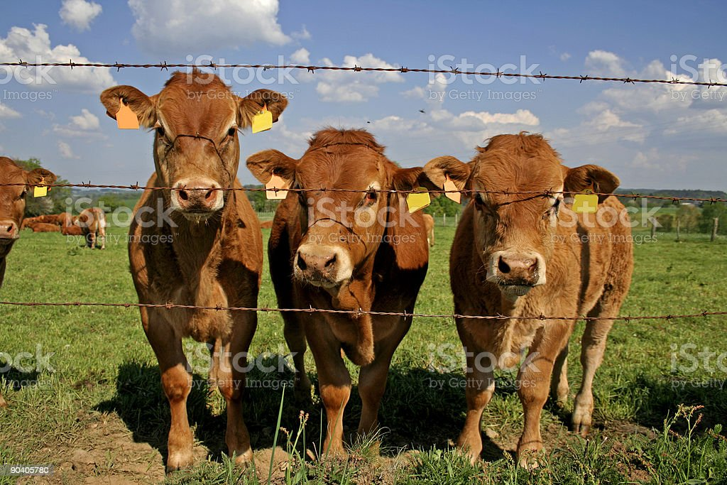 herd of curious cows stock photo