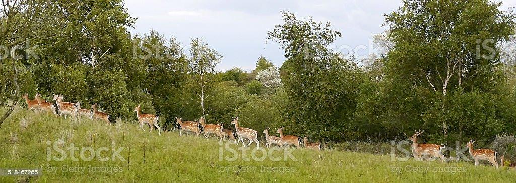 Herd of deer in the dune area in Holland royalty-free stock photo