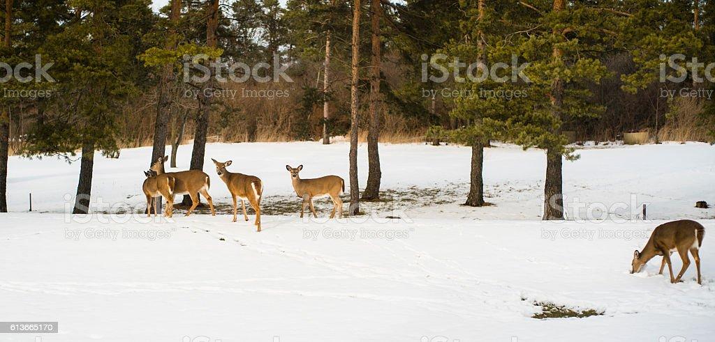 Herd of deer in the winter forest stock photo