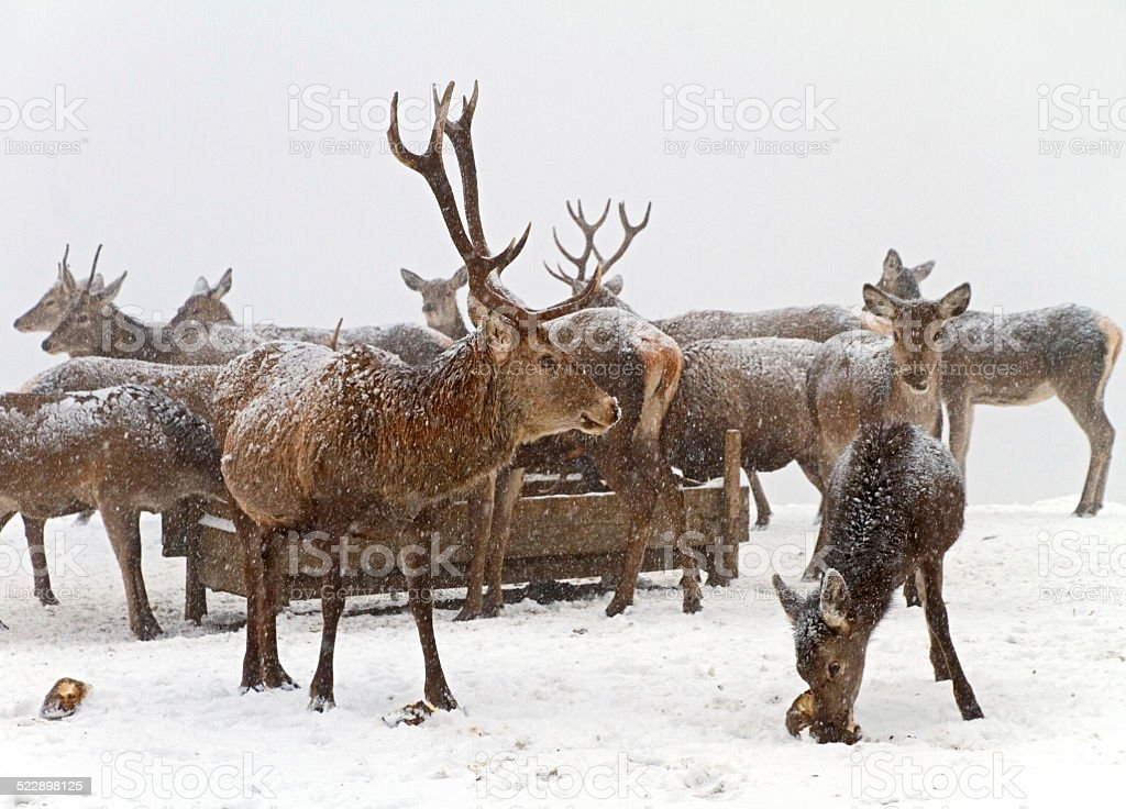 Herd of deer stock photo