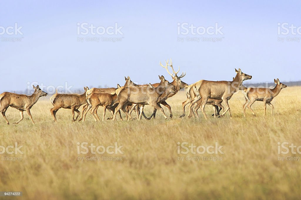 Herd of  deers royalty-free stock photo