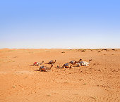 Herd of domestic camels in Wahiba desert, Oman