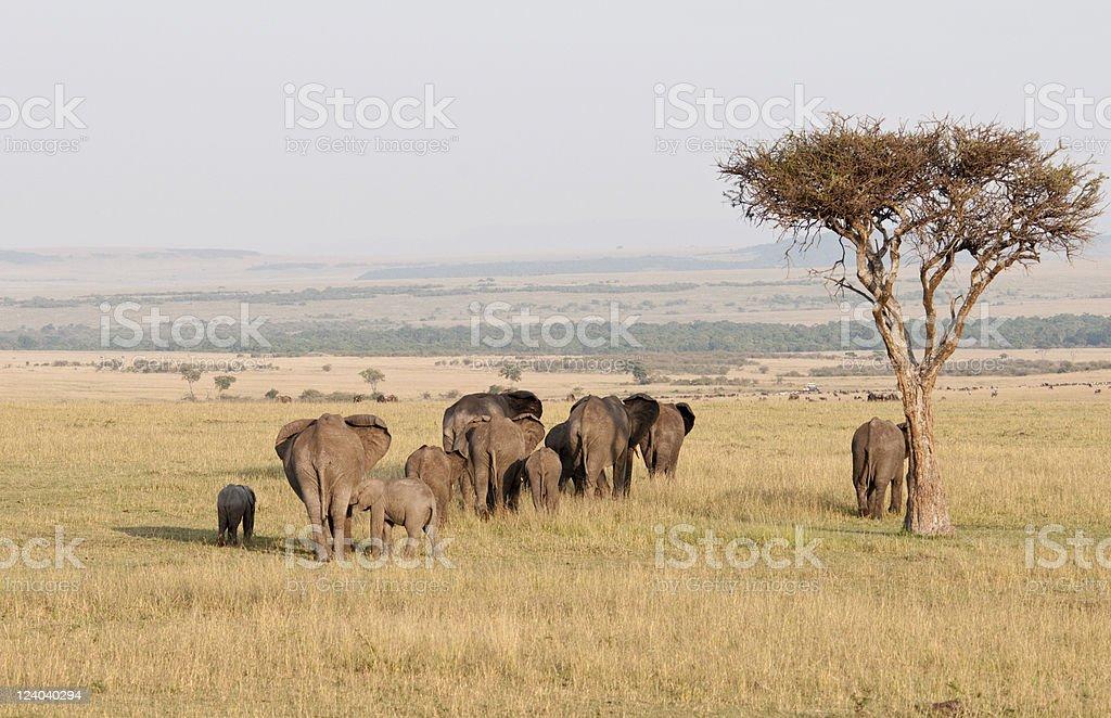 Herd of elephant across the Mara, Kenya stock photo