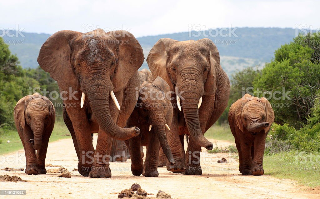 Herd of elephant approaching us in South Africa stock photo