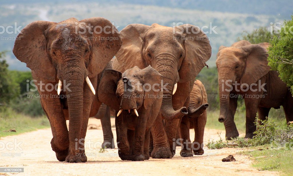 Herd of Elephant from South Africa stock photo
