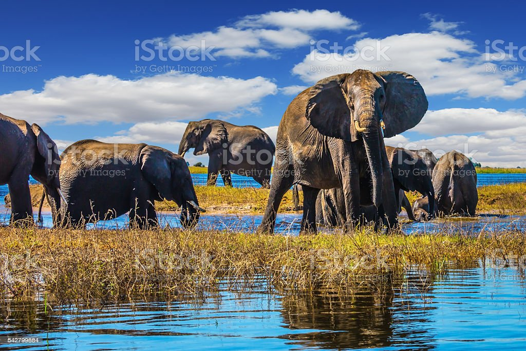 Herd of elephants come to drink stock photo