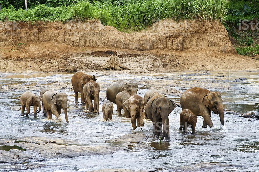 herd of elephants crossing a river royalty-free stock photo