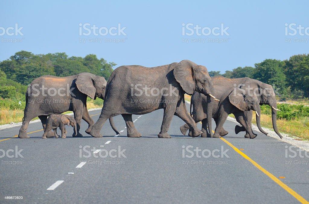 herd of elephants crossing the road stock photo