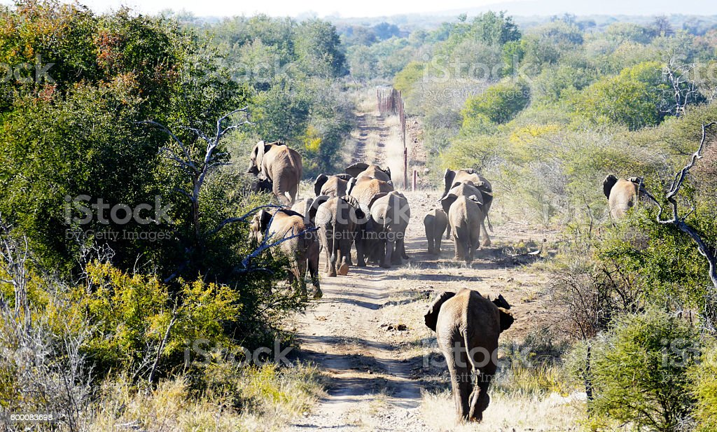 Herd of elephants in Madikwe Game Reserve, South Africa stock photo