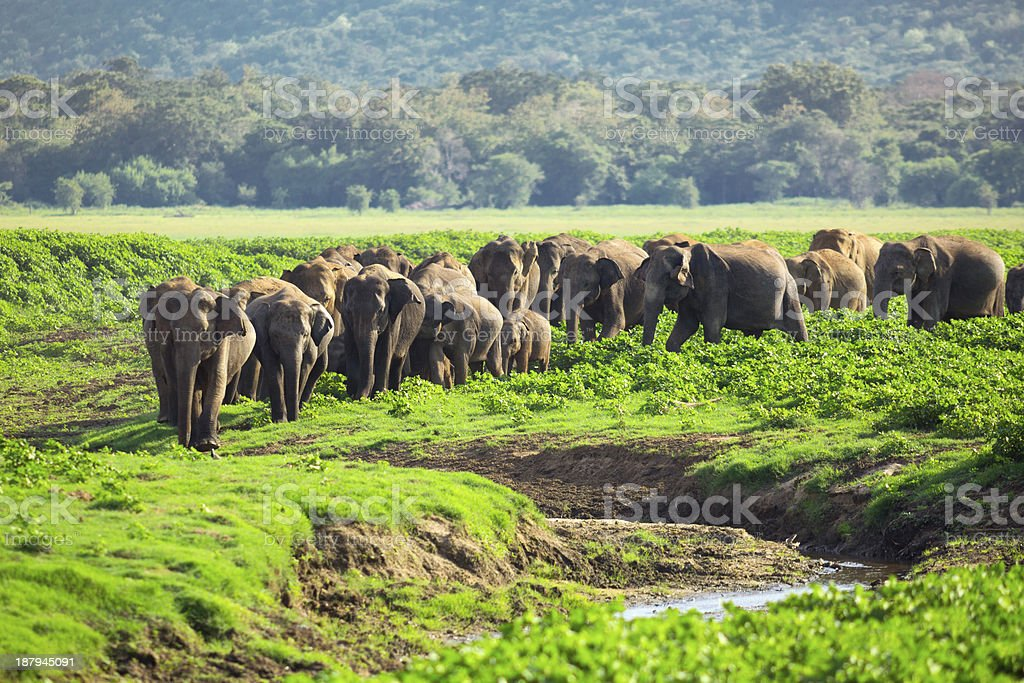 Herd of Elephants in Sri Lanka royalty-free stock photo