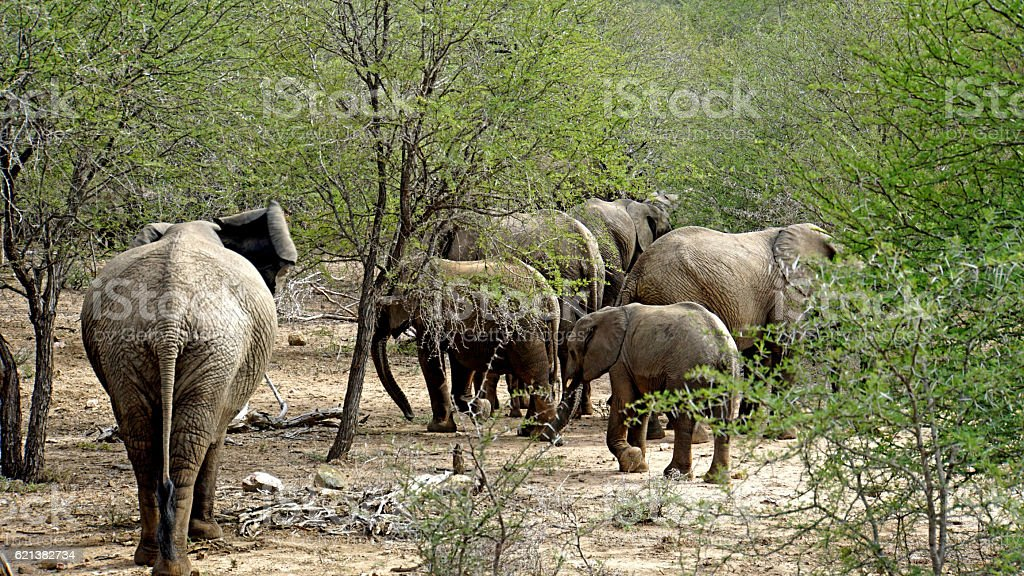 Herd of elephants in the Kruger National Park stock photo