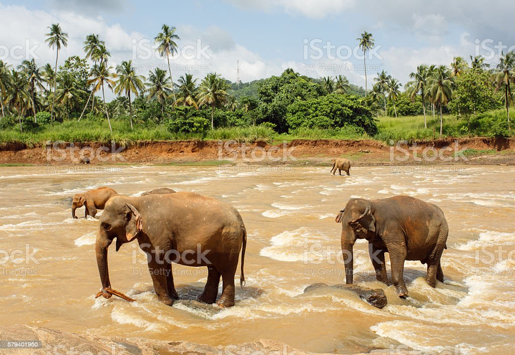 Herd of elephants in the river stock photo