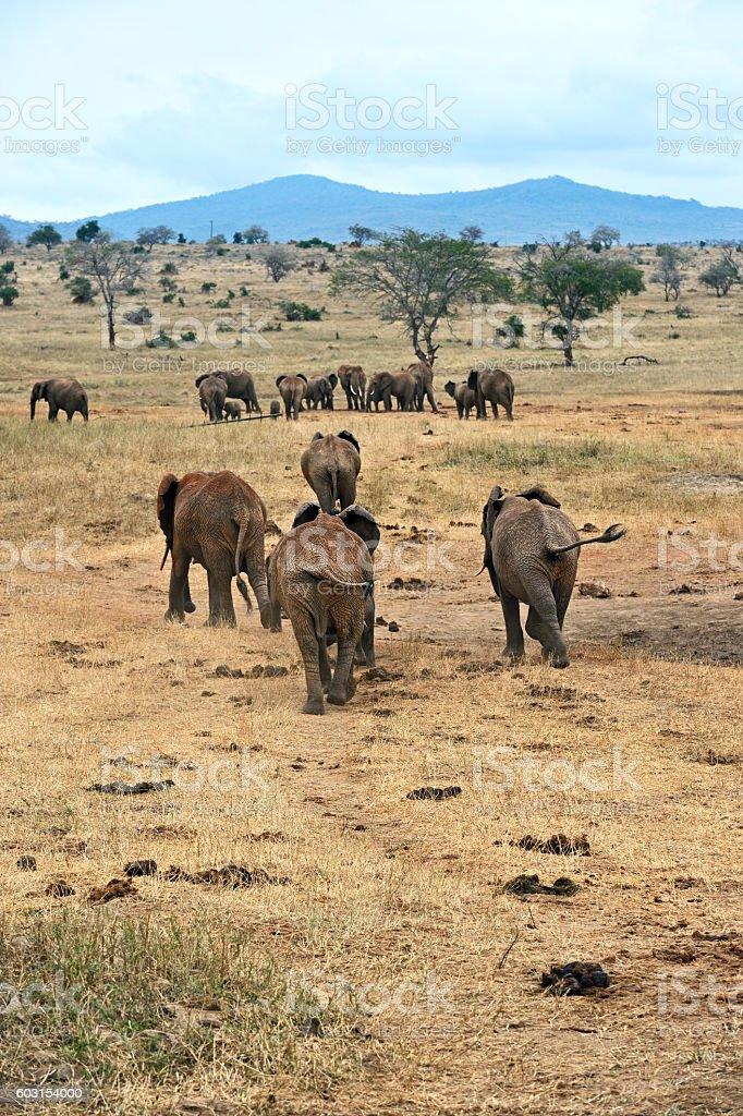 Herd of elephants in the savannah stock photo