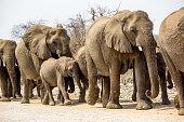 Herd of elephants on parade