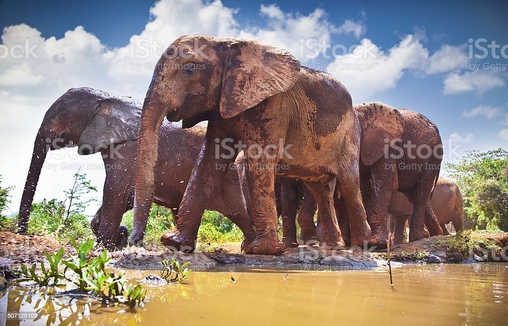 Herd of elephants pass by river in Kenya. stock photo