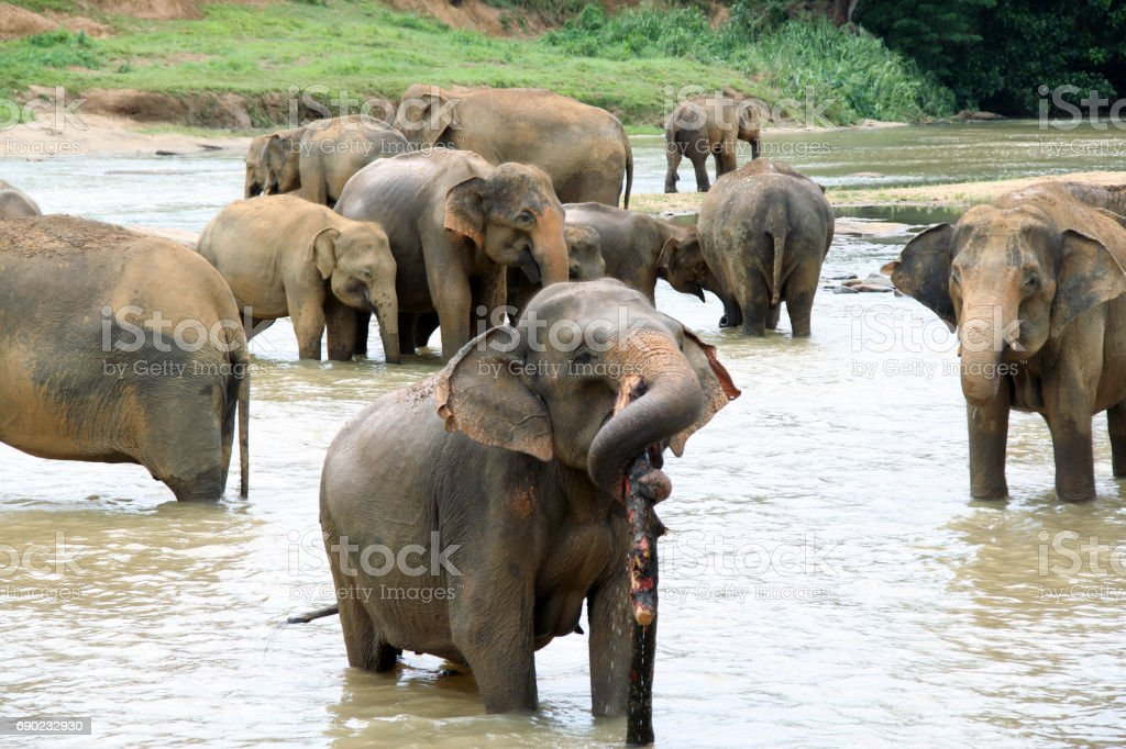 A herd of elephants take a bath, Sri Lanka stock photo